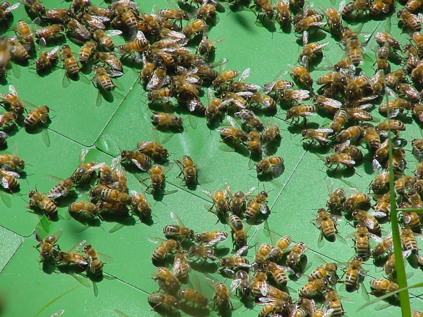 catching_a_swarm_of_bees_sj_28769474296229